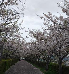 Sakura3_1