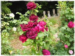 Rose27