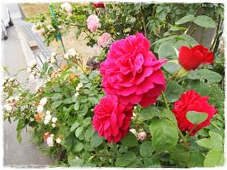Rose28