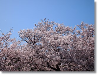 Sakura14_2