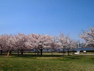 Sakura15