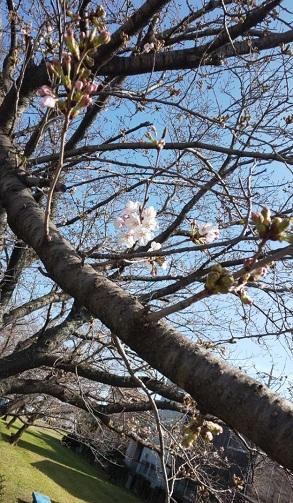 Sakura2_20200329194601
