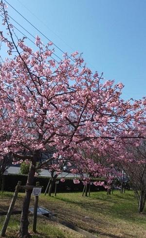 Sakura3_20200224200901