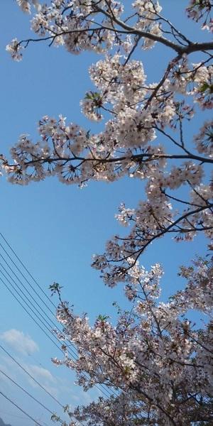 Sakura3_20200417204601