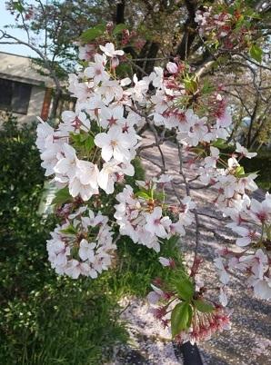 Sakura4_20200417204601