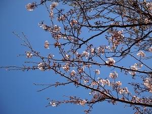 Sakura_20210325211301