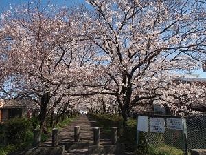 Sakurasa1