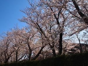 Sakurasa2