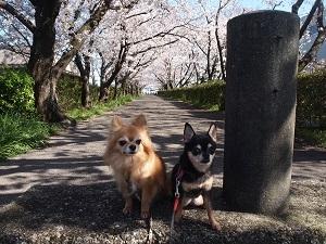 Sakurasa3